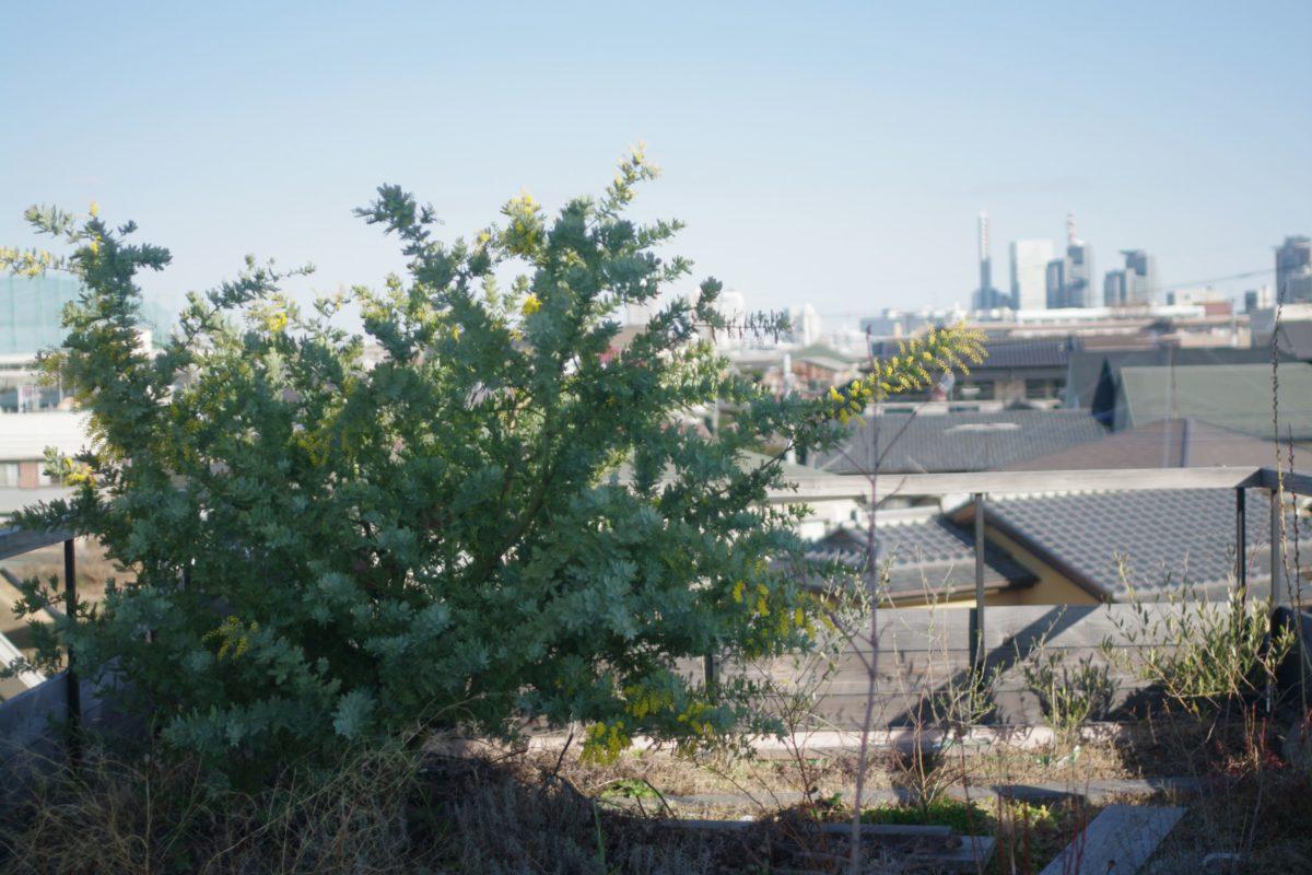 屋上緑化のミモザ