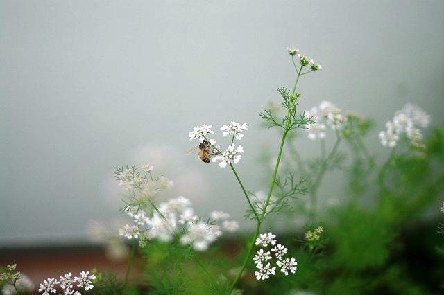 パクチの花とミツバチ