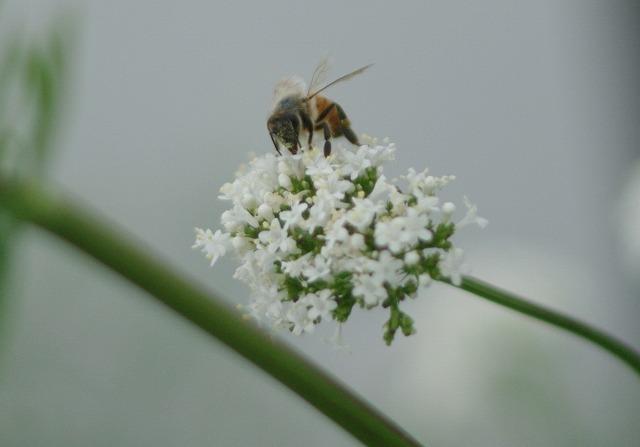 バレリアンとミツバチ
